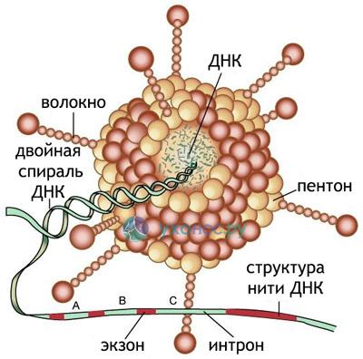 Аденома вирусная инфекция у взрослых