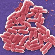 Е coli гемолитические что это